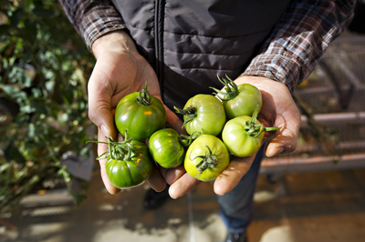 man holding green tomatoes